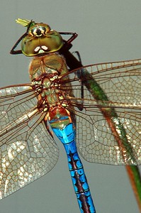 Common Green Darner, male - Peters Creek, Pennsylvania