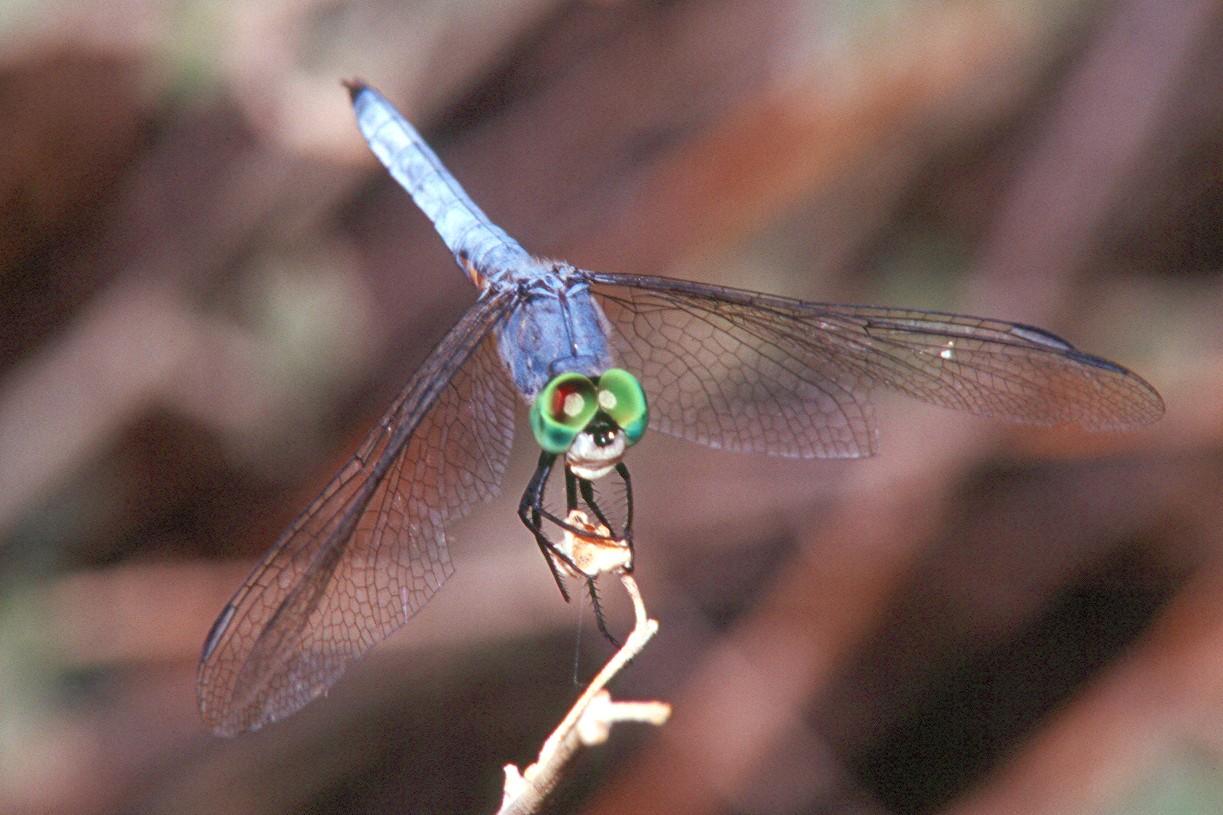Western Pondhawk, male - Superior, Arizona
