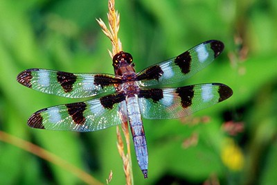 Twelve-spotted Skimmer, male - Peters Creek, Pennsylvania
