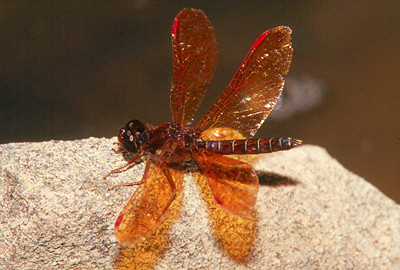 Eastern Amberwing - Donegal Lake, Pennsylvania