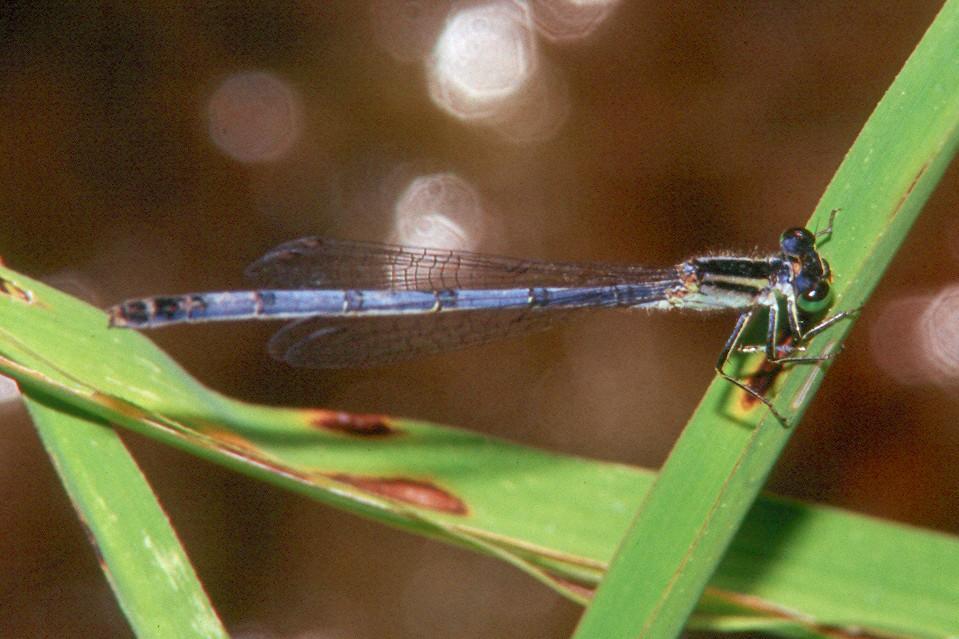 Eastern Forktail, female - Peters Creek, Pennsylvania