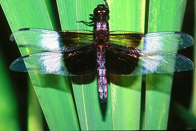 Widow Skimmer, male - Buffalo Creek, Pennsylvania