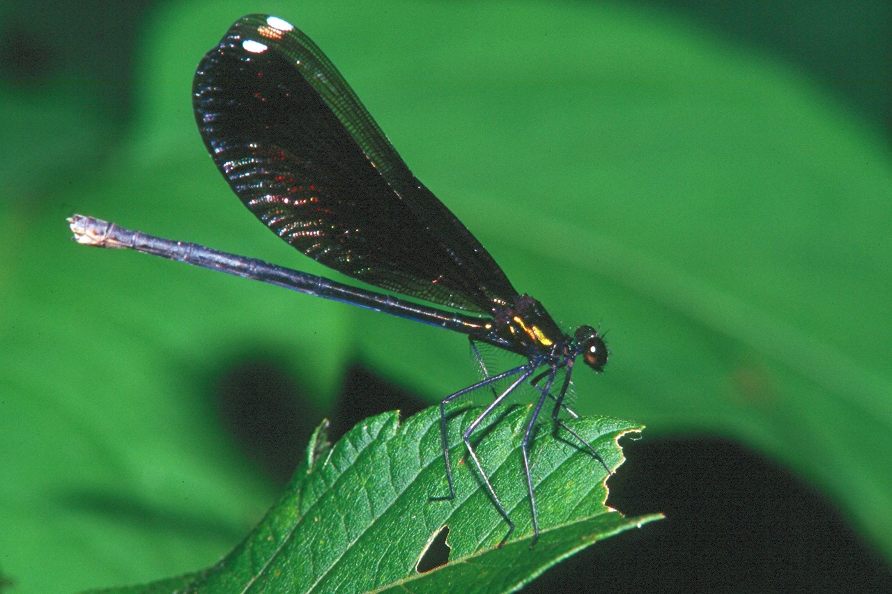Ebony Jewelwing, female - Peters Creek, Pennsylvania