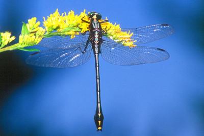 Black-shouldered Spinylegs - Donegal Lake, Pennsylvania