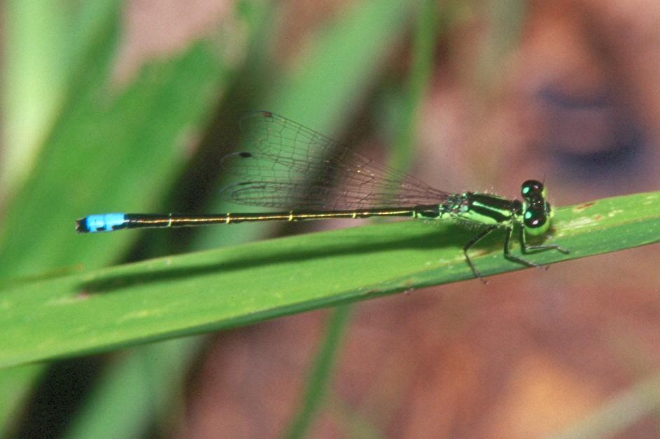 Eastern Forktail, male - Peters Creek, Pennsylvania