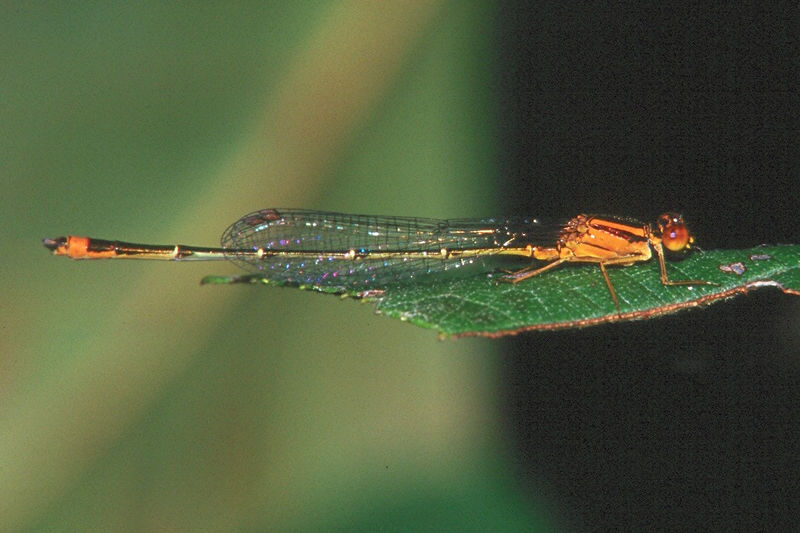 Eastern Forktail, female - Donegal Lake, Pennsylvania