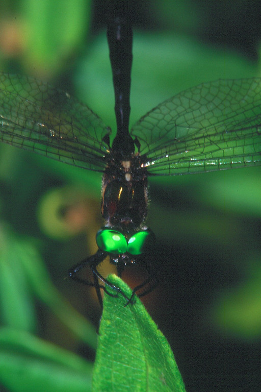 Clamp-tipped Emerald - South Park, Pennsylvania