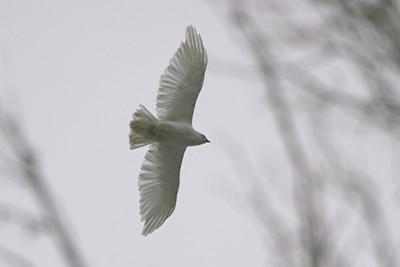 Albino Red-tailed Hawk - Pennsylvania