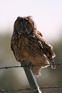Long-eared Owl - Utah