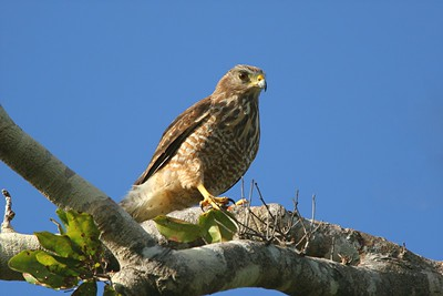 Roadside Hawk - Mexico