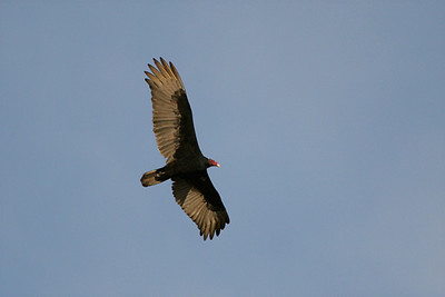 Turkey Vulture - Arizona