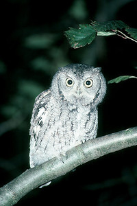Eastern Screech Owl, gray phase - Pennsylvania