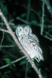 Eastern Screech Owl, gray phase - Pennsylvania