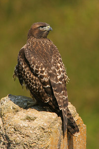Red-tailed Hawk - California
