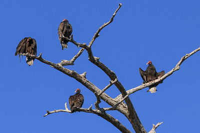 Turkey Vultures - Florida