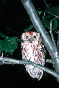 Eastern Screech Owl, red phase - Pennsylvania
