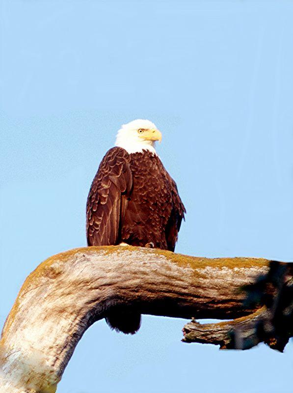 Bald Eagle - Washington