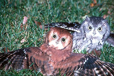 Eastern Screech Owls fighting - Pennsylvania
