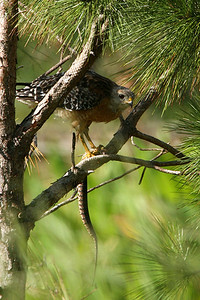 Red Shouldered Hawk with snake - Florida