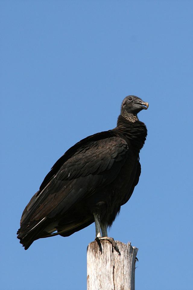 Black Vulture - Florida