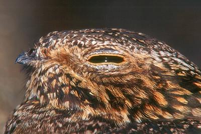 Common Night Hawk - West Virginia