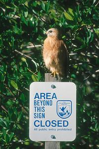 Red-shouldered Hawk - Florida