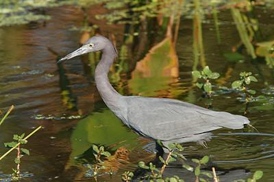 Little Blue Heron - Florida