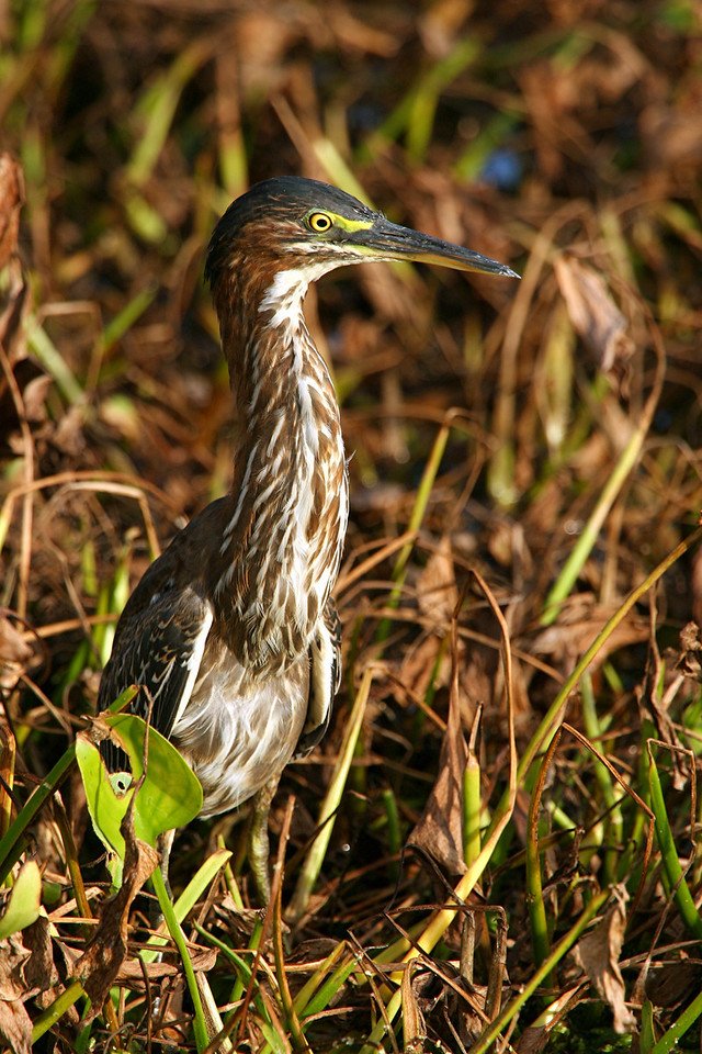 Green Heron - Florida