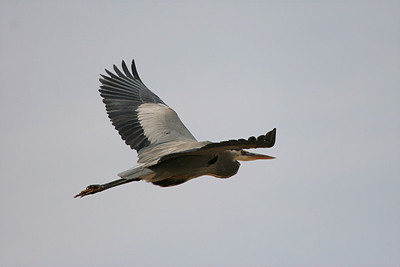 Great Blue Heron - Arizona
