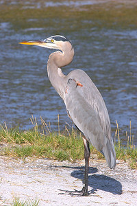 Great Blue Heron - Florida
