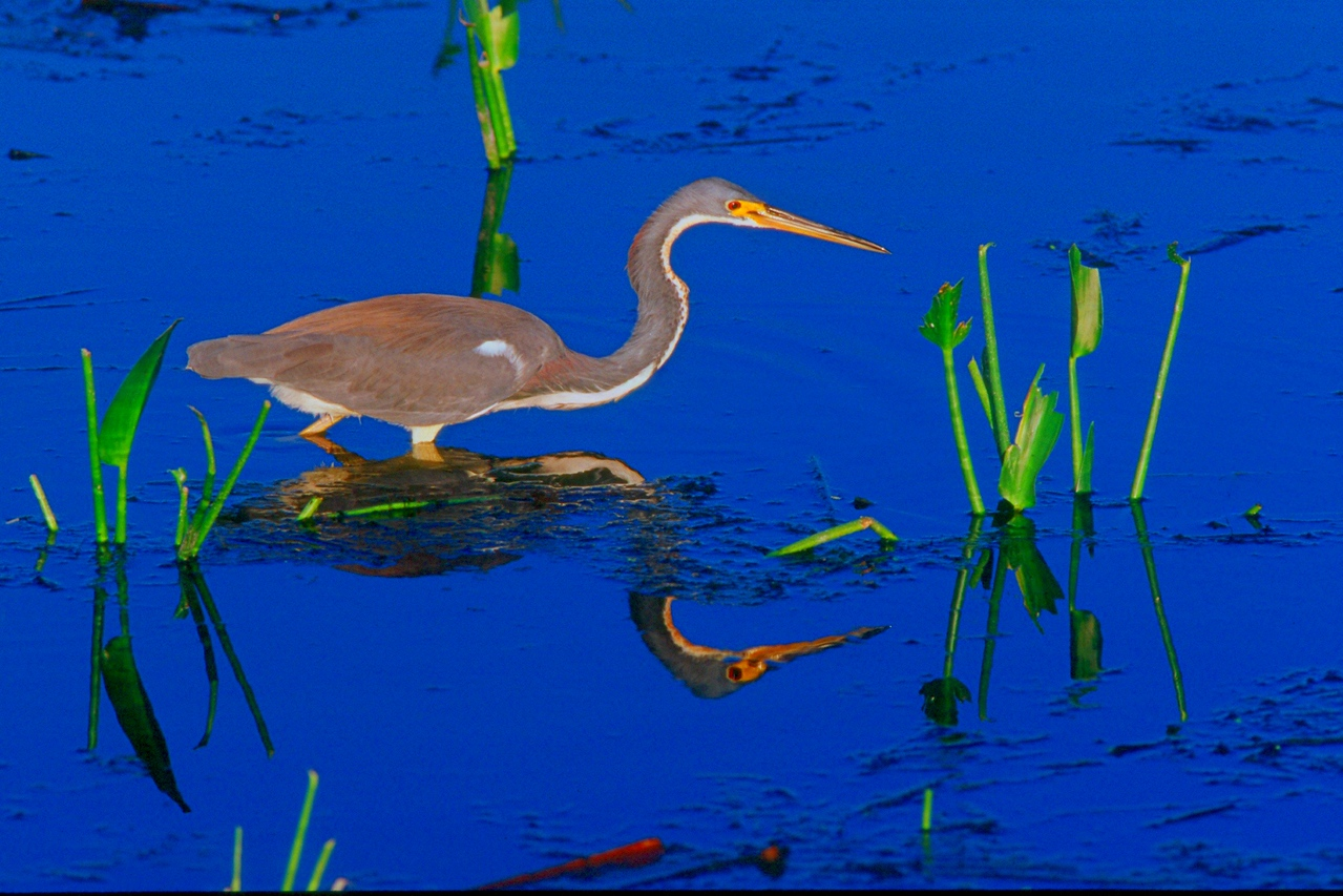 Tricolored Heron - Florida