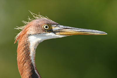 Immature Tricolored Heron - Florida