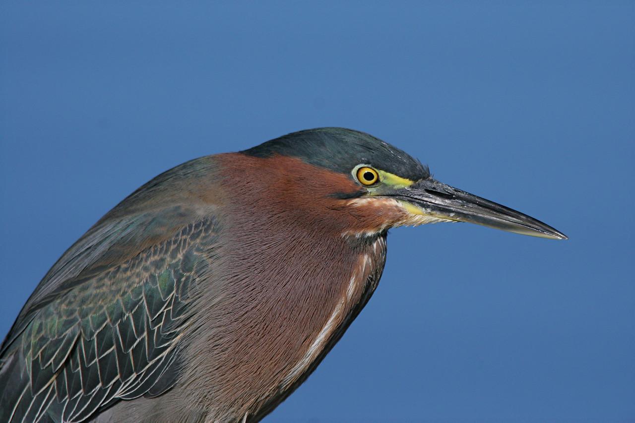 Green Heron - Arizona
