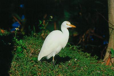 Cattle Egret - Florida