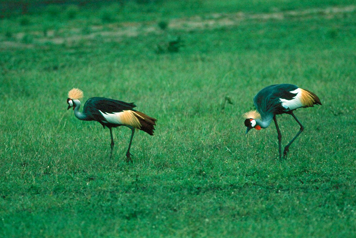 East African Crowned Crane - Kenya