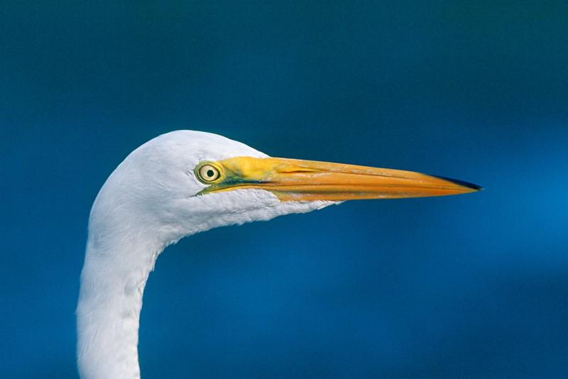 Great Egret - Florida