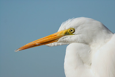 Great Egret - California