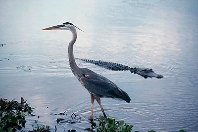 Great Blue Heron and American Alligator - Florida