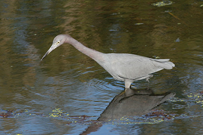Little Blue Heron - Florida