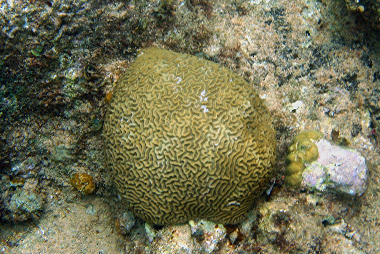 Smooth Brain Coral - Cayman Islands