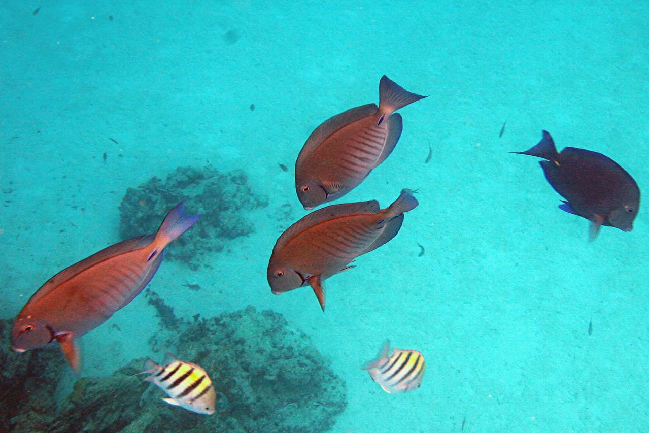 Doctorfish - Bahamas