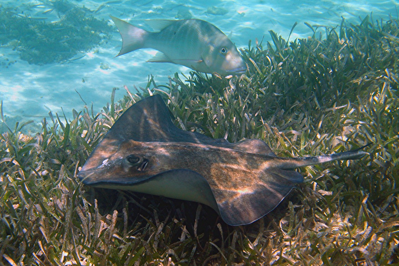 Southern Stingray and Jolthead Porgy - Bahamas