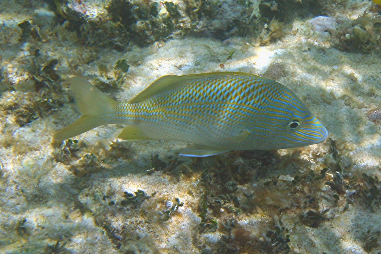White Grunt - Bahamas