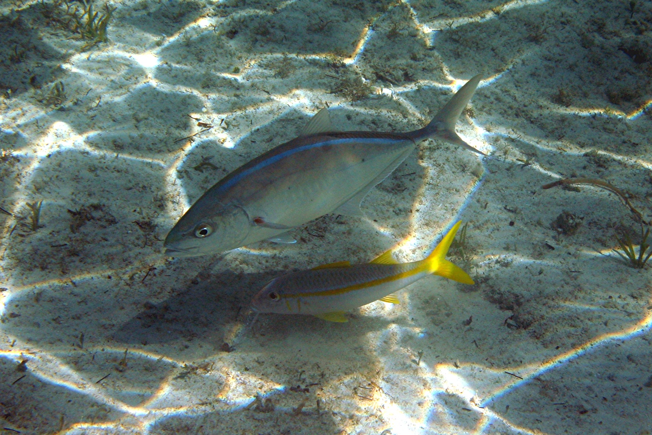 Bar Jack and Yellow Goatfish - Bahamas