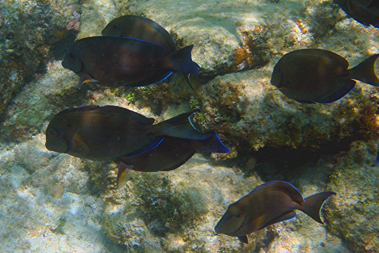 Ocean Surgeon - Bahamas