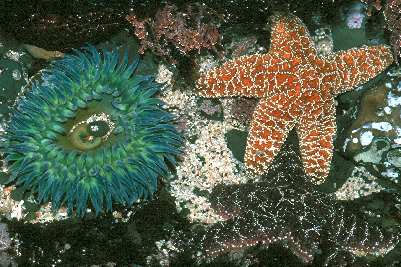 Giant Green Anemone and Ochre Star -  California