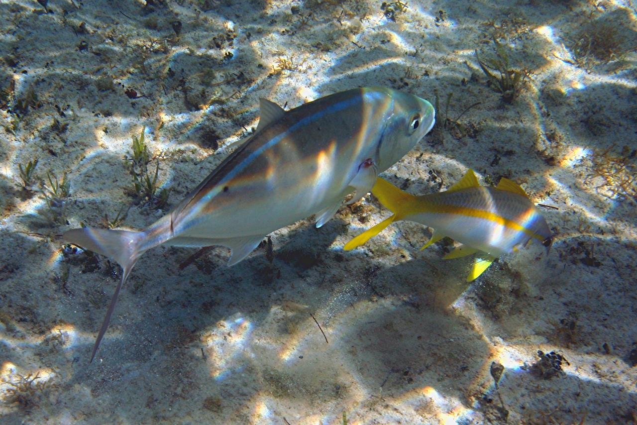 Bar Jack and Yellow Goatfish - Bahamas