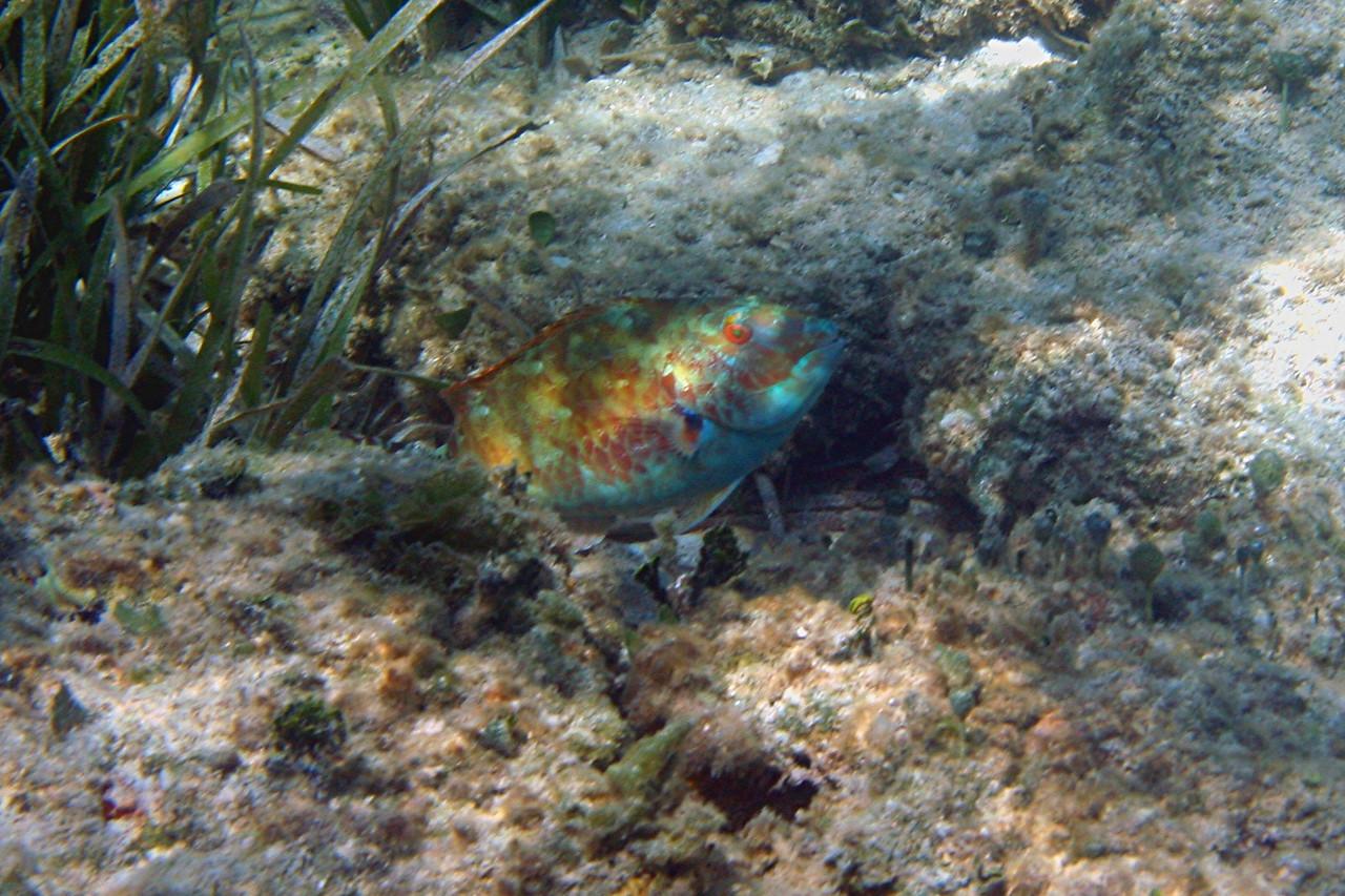 Bucktooth Parrotfish - Bahamas