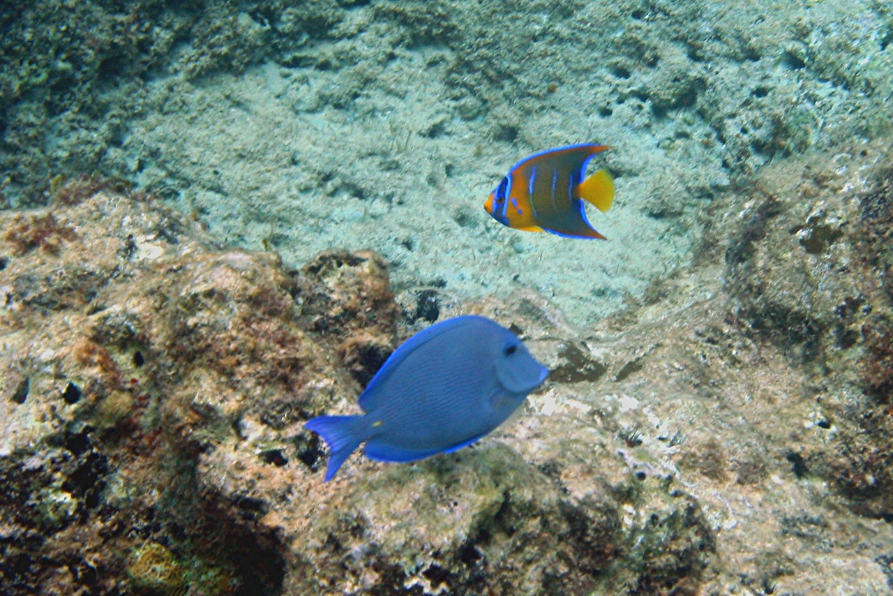 Blue Tang and Queen Angelfish - Cayman Islands