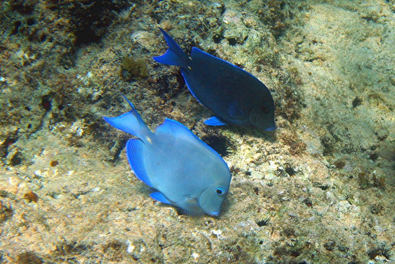 Blue Tang - Cayman Islands